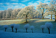 Heavy frost on trees in a field in Swinbrook, Oxfordshire in the Cotswolds area of rural England, United Kingdom