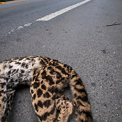 """Atropelamento de animais (fauna) fotografado em Linhares, Espírito Santo -  Sudeste do Brasil. Bioma Mata Atlântica. Registro feito em 2014.<br /> <br /> <br /> <br /> ENGLISH: roadkill photographed in Linhares, Espírito Santo - Southeast of Brazil. Atlantic Forest Biome. Picture made in 2014."""