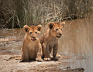 The lion cubs are about three months old.  They've stopped playing only long enough to get a drink.<br />