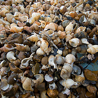 Shells on Whitstable beach, Kent, England