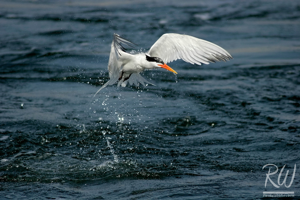 Royal Tern (Sterna maxima) Failed Attempt at Catching Fish, Bolsa Chica Ecological Reserve, California