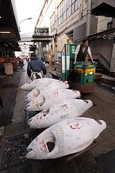 Transporting frozen tuna by barrow at the famous Tsukiji Fish Market in Tokyo Japan