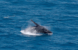 A humpback whale breaches off Broome's Cable Beach.