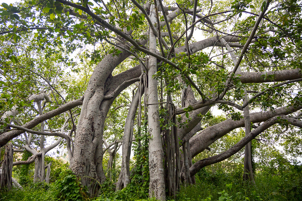 """THIMMAMMA MARRIMANU, INDIA - 25th October 2019 - Thimmamma Marrimanu - the world's largest single tree canopy. With more than 4000 roots, the banyan tree (Ficus benghalensis) was first added to the Guinness Book of World Records in 1989 (its entry updated in 2017) as being 550 years old and having the """"greatest perimeter length for a tree"""", spreading over five acres with a circumference of 846m. Andhra Pradesh, South India."""