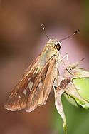 Brazilian Skipper (Calpodes ethlius)<br /> TEXAS: Victoria Co.<br /> Victoria<br /> 15.Nov.2009<br /> J.C. Abbott