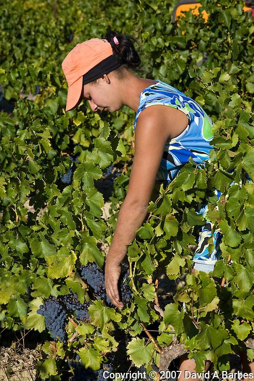 Grape harvest, Vaucluse, Povence, France