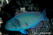 Gibbus parrotfish or heavybeak parrotfish, Chlorurus gibbus, Great Barrier Reef, Australia ( Western Pacific Ocean )