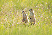 A pair of black tailed Prairie Dogs look out from a burrow in a colony occupying a suburban field in Cheyenne, Wyoming.