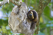 Brown-throated Three-toed Sloth <br /> Bradypus variegatus<br /> Limon, Costa Rica