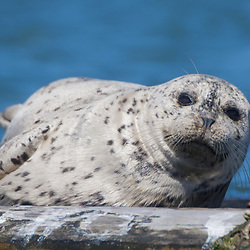 Pacific harbor seal (Phoca vitulina richardii), Sausalito, California, US
