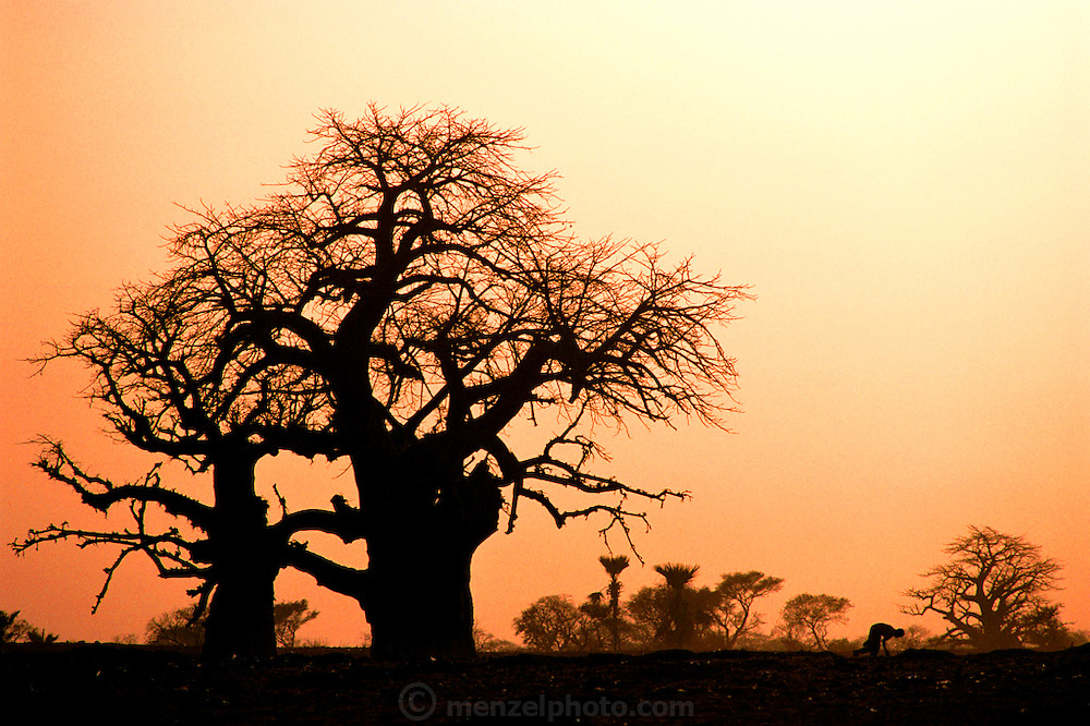 A baobob tree and a famer cultivating his field by hand at sunset near the W. African village of San, Mali. Material World Project.
