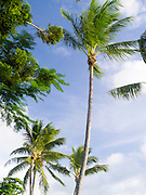 Palm trees blow in the breeze; Daydream Island; Whitsunday Islands, QLD, Australia