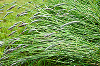 Grasses bent under the weight of raindrops