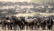 Wildebeests, Connochaetes taurinus, lining up for river crossing along the banks of Mara River, Kenya.