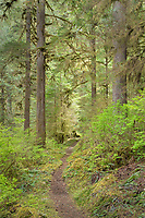 Baker Lake trail winding its way through old growth forest, North Cascades Washington