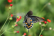 Butterfly In Motion, Pipevine Swallowtail Nectaring On Red Flowers, Battus Philenor