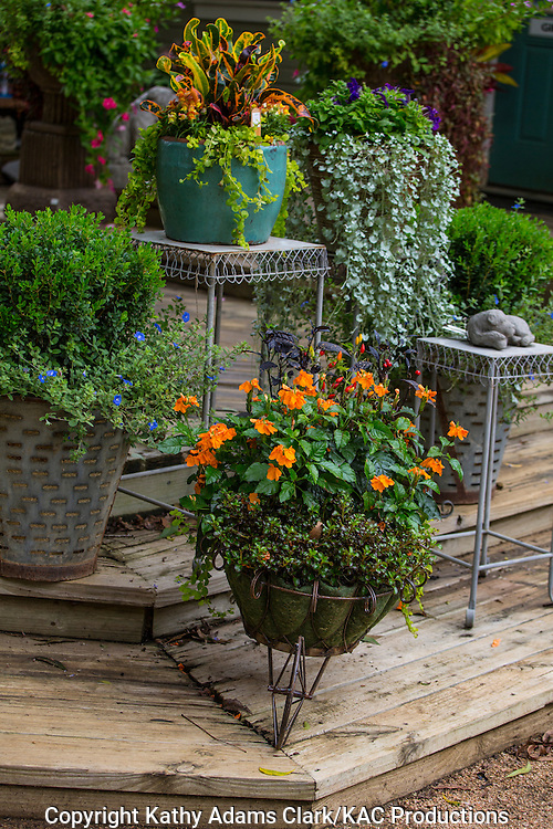 Container garden, croton, dichondra, Garden, Houston, late summer, Texas.
