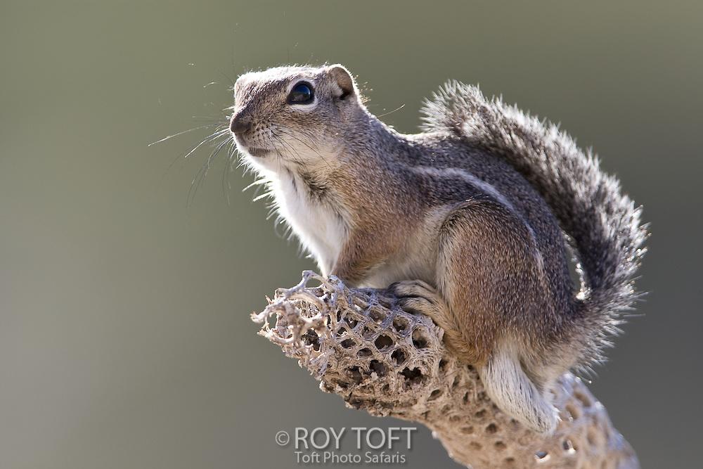 Portrait of a Harris' antelope squirrel, Sonoran desert, Arizona.