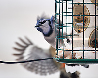 Blue Jay being chased away by a Red-bellied Woodpecker. Image taken with a Nikon D5 camera and 600 mm f/4 VR lens