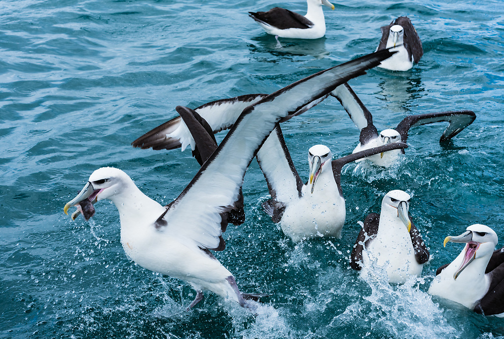 An albatross in the Tasman Sea is escaping from the others with  food in his mouth.