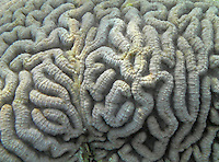 Close-up of fascinating brain coral from Bali, Indonesia.