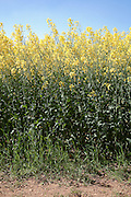 Looking up at the edge of field of yellow rapeseed in flower (canola) showing stems and flowerhead under a blue sky on a sunny day. Seven Springs, Gloucestershire, England..Rapeseed (Brassica napus), also known as rape, oilseed rape, rapa, rappi, rapaseed and (in the case of one particular group of cultivars, canola). Rapeseed is grown for the production of animal feed, vegetable oil for human consumption, and biodiesel