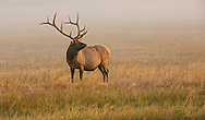 In late summer, bull elk lose the velvet covering on their antlers in preparation for the impending rut.  Here a dominant bull, just recently free of velvet, surveys his domain along the Gibbon River.