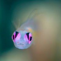 Pinkeye Goby, Bryaninops natans, Mantabuan, Sabah, Borneo, East Malaysia, South East Asia