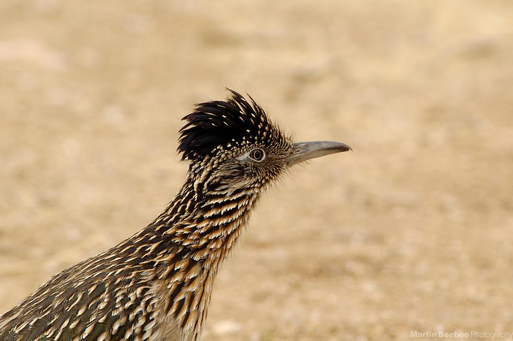 Greater Roadrunner (Geococcyx californianus), Sabino Canyon Recreation Area, Coronado National Forest, Arizona
