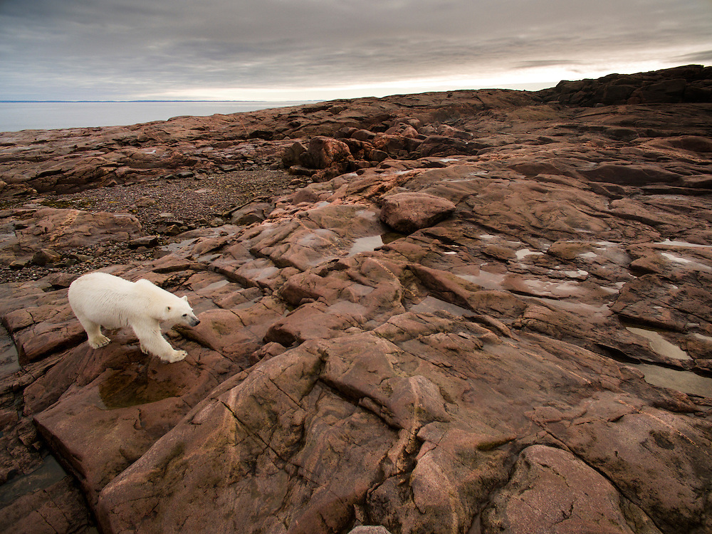 Canada, Nunavut Territory, Repulse Bay, Aerial view of Polar Bear (Ursus maritimus) walking through rocky hills along Hudson Bay near Arctic Circle