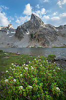 Trappers Tea (Ledum glandulosum) growing along shore of Twin Lakes, Alice-Toxaway Lakes Loop Trail Sawtooth Mountains