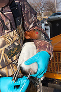 Canvasback, Aythya valisineria, avian influenza sampling, Chesapeake Bay, Maryland