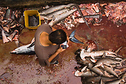 Shortfin Mako (Isurus oxyrhynchus) and Smooth Hammerhead Shark (Sphyrna zygaena) in the area's largest fish market for artisanal fishermen, Santa Rosa Fishing Village, Santa Elena Peninsula, Ecuador