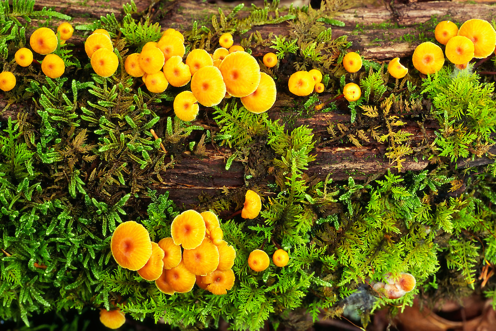 Closeup of Orange Mycena growing on decaying log in Great Smoky Mountains National Park, Tennessee. Spring. Afternoon.