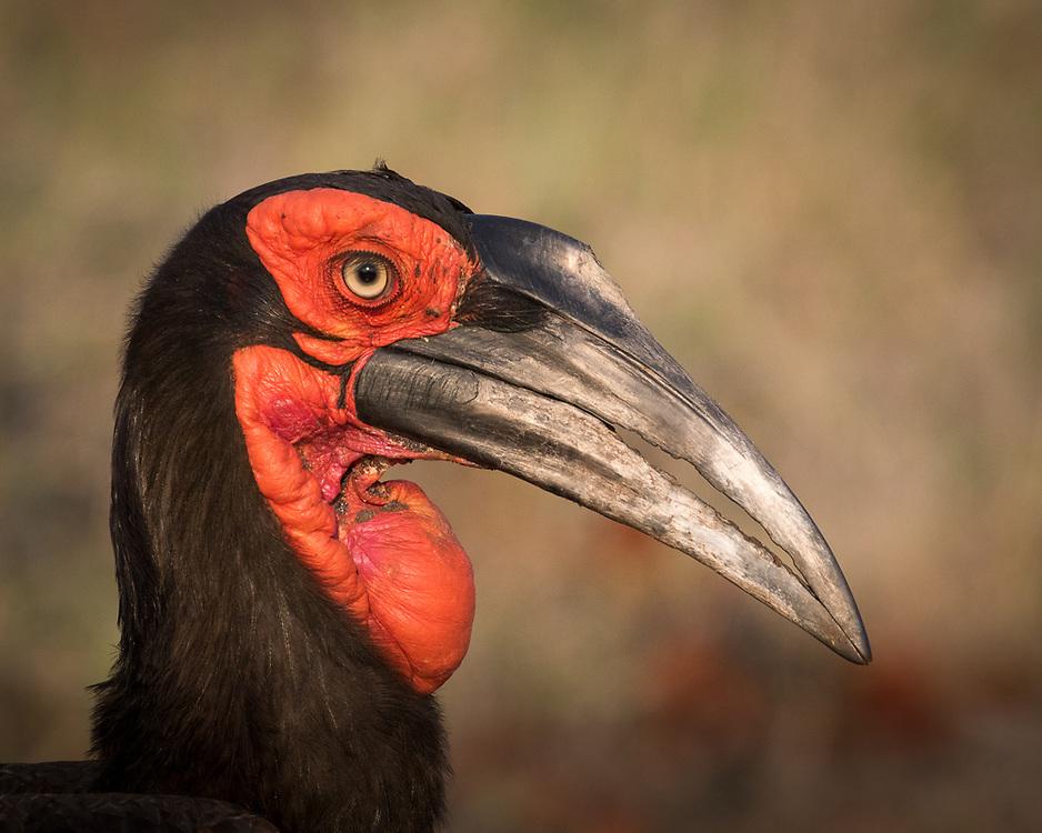 Bucorvus leadbeateri, South Africa