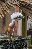 The Yellow-billed stork (Mycteria ibis), sometimes also called the wood stork or wood ibis, is a large African wading stork species in the family Ciconiidae. It is widespread in regions south of the Sahara and also occurs in Madagascar.