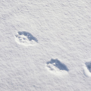 Wolverine (Gulo gulo) tracks in the snow.
