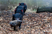 Captive Tasmanian Devils  at Tasmanian Devil Conservation Park, near Taranna, Tasmania, Australia. One has got a piece of wallaby, and is on the run, while the others are in hot pursuit. ....Most of the devils I photographed over the last week were either recovering from injuries, or orphans, seperated from parents suffering from the Tasmanian Devil Facial Tumor Disease, which is a contagious cancer.