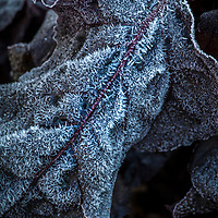 A broccoli leaf covered in frost in the vegetable garden.