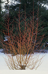 Red stems of willow in winter snow at Great Dixter - Salix alba 'Chermesina' syn. S. alba subsp. vitellina 'Britzensis'