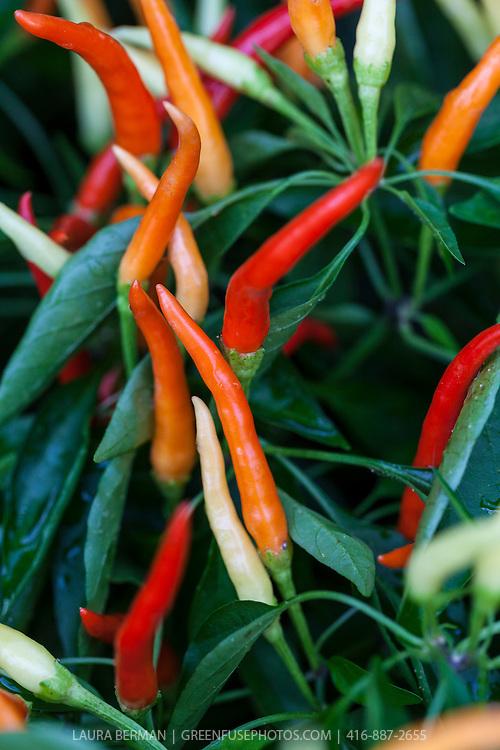Yellow, orange, and red Medusa ornamental hot peppers (Capsicum annuum 'Medusa'}.