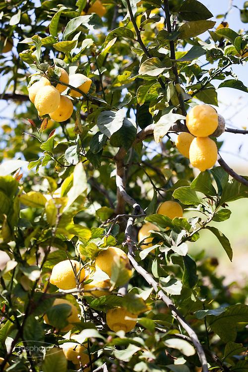 Agrigento, Valle dei Templi. I limoni del Giardino della Kolymbetra. Proprietà FAI. ©2012 Vince Cammarata | FOS