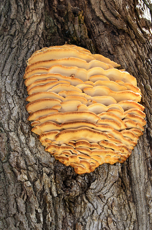 Northern Toothed Polypore tree mushroom growing on a maple tree.