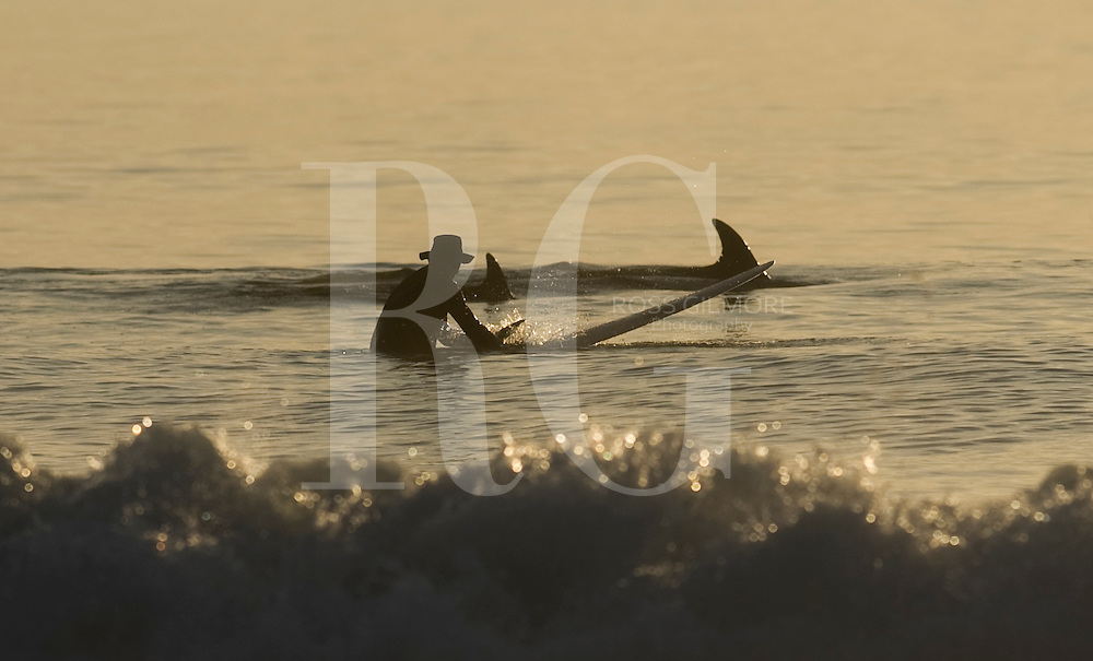 Surfer paddles with dolphins at sunset. on Westport Beach by Machrihanish, one of Scotlands premier surfing spots on the Atlantic Ocean situated on the Mull of Kintyre peninsula.