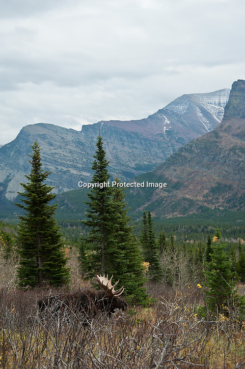 moose in habitat