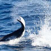 A female humpback whale calf (Megaptera novaeangliae australis) that was highly energetic and playful. Here she was slapping the ocean surface, learning how to generate power with the muscles in her peduncle and fluke. It takes practice to learn how to maintain the proper position at the surface to create the perfect splash and accompanying sound, a skill that is used by adult humpback whales to communicate with each other.