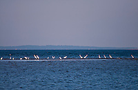 New York, Long Island - a group of sea birds strung out along an offshore sandbar.