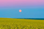 The rising &quot;super moon&quot; of July 12, 2014, rising above a canola field near home in southern Alberta. The Moon is in the blue of Earth's shadow and below the pink Belt of Venus band. <br /> <br /> This is a single exposure and frame from a 500-frame time lapse of the Moon rising. This is with the Canon 60Da and 135mm telephoto lens. The Moon has not been pasted into the sky!
