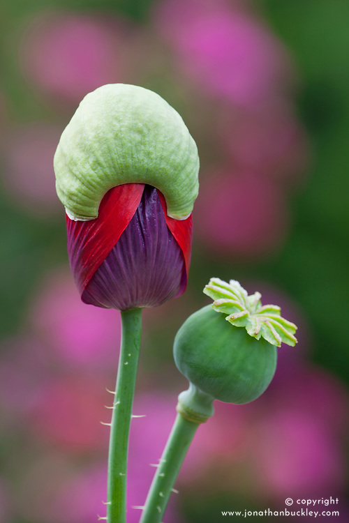 Opening bud of Opium poppy. Papaver somniferum