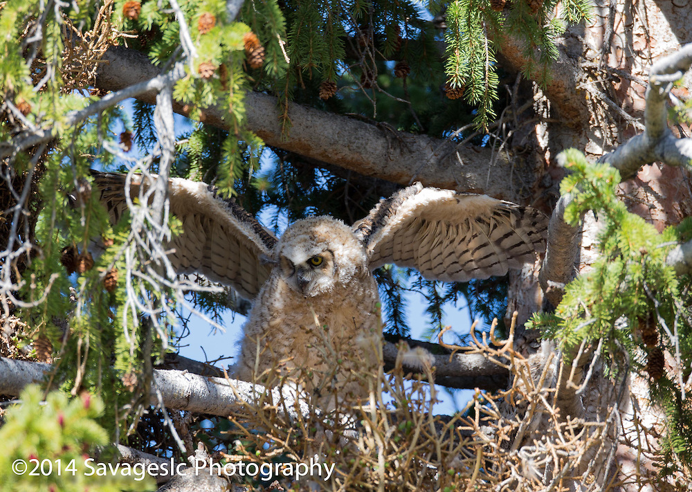 Great horned owlet stretches its wings.